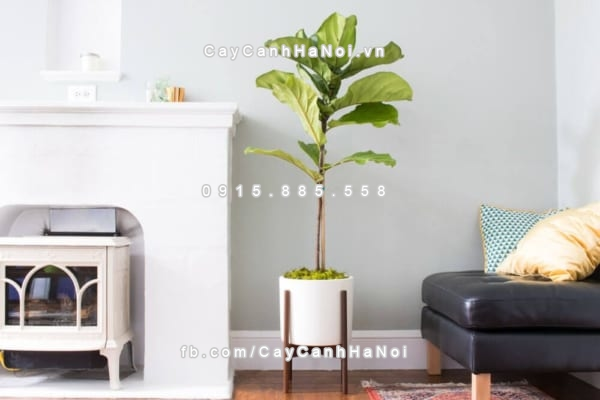 cay_fiddle_leaf_fig (3)