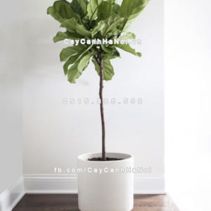 Cây Fiddle Leaf Fig