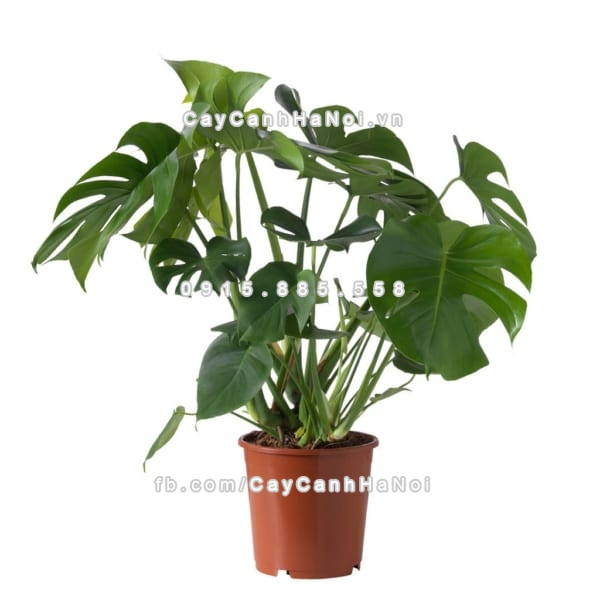 cay_monstera_deliciosa (2)