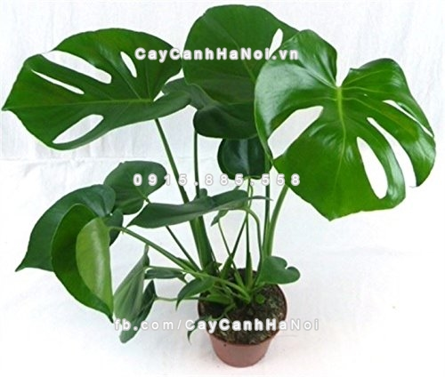 cay_monstera_deliciosa (3)
