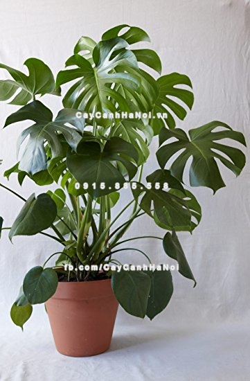 cay_monstera_deliciosa (4)