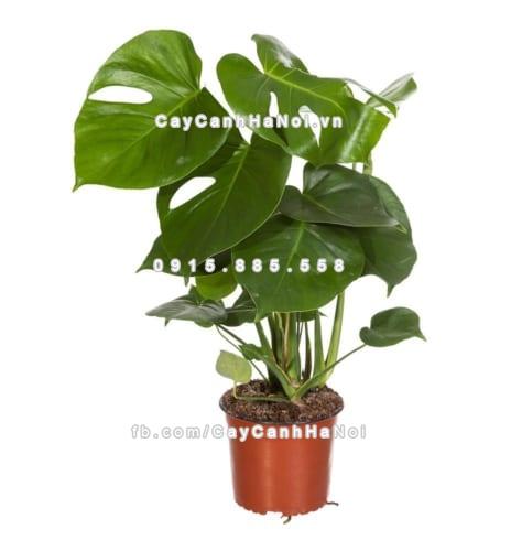Cây trầu bà Nam Mỹ lá xẻ