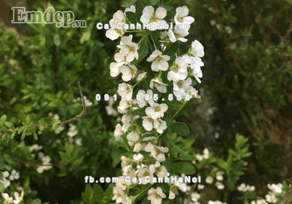 Cành hoa tuyết mai Đài Loan chơi Tết