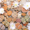 cay_thach_lan_lithops (1)