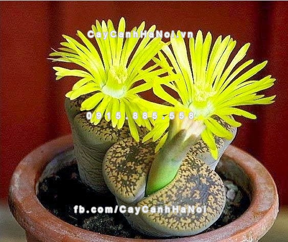 cay_thach_lan_lithops (2)