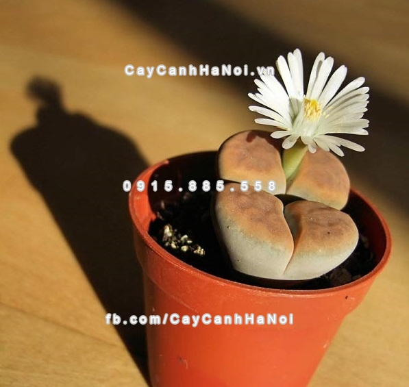 cay_thach_lan_lithops (3)