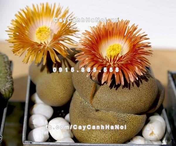 cay_thach_lan_lithops (4)