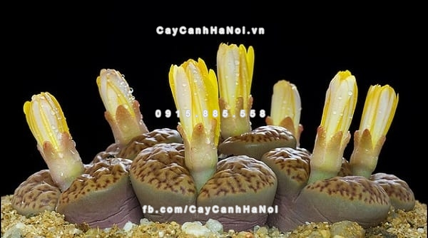 cay_thach_lan_lithops (5)