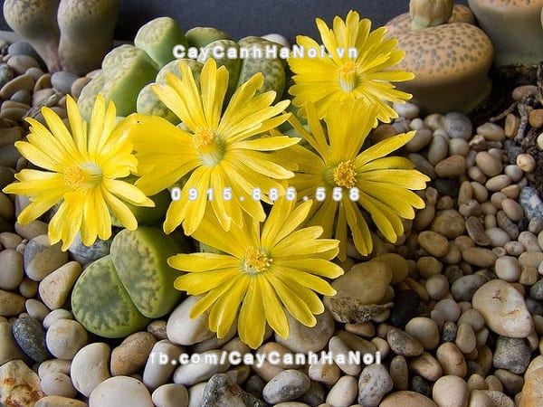 cay_thach_lan_lithops (6)