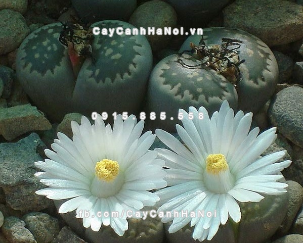 cay_thach_lan_lithops (7)