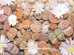 Sen đá thạch lan