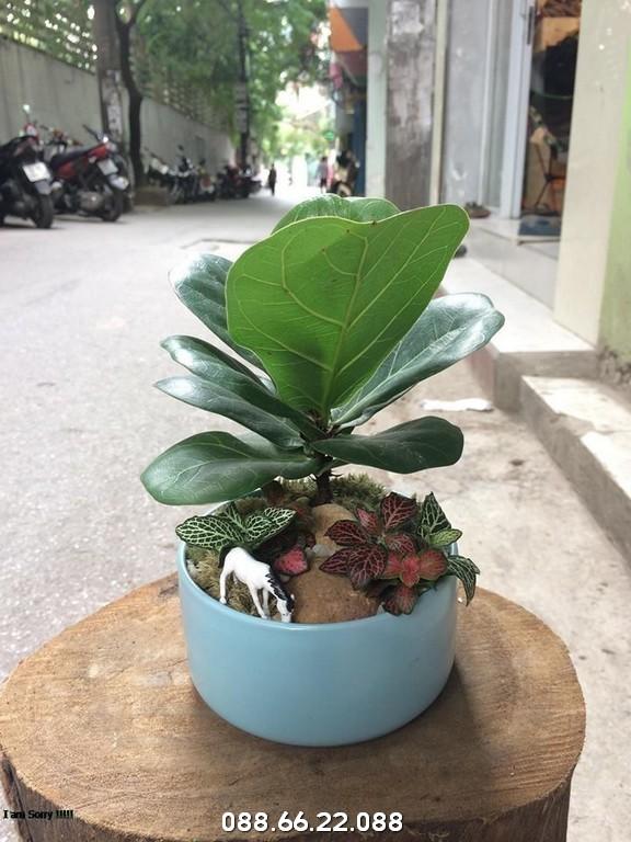 Bàng Singapore- Mệnh Mộc hợp cây gì