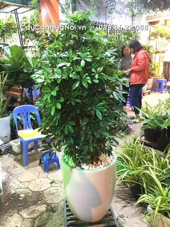 Ngũ Gia Bì - Tuổi Tuất hợp cây gì