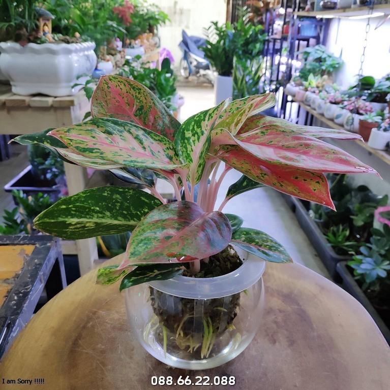 Cây Phú Quý - Mệnh Hỏa hơp cây gì