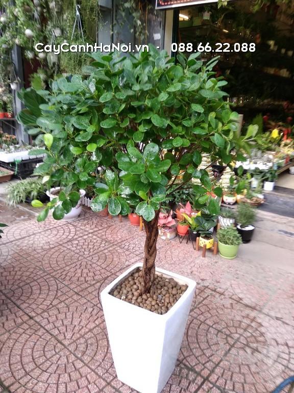 Cây Si Đài Loan - Tuổi Dần hợp cây gì