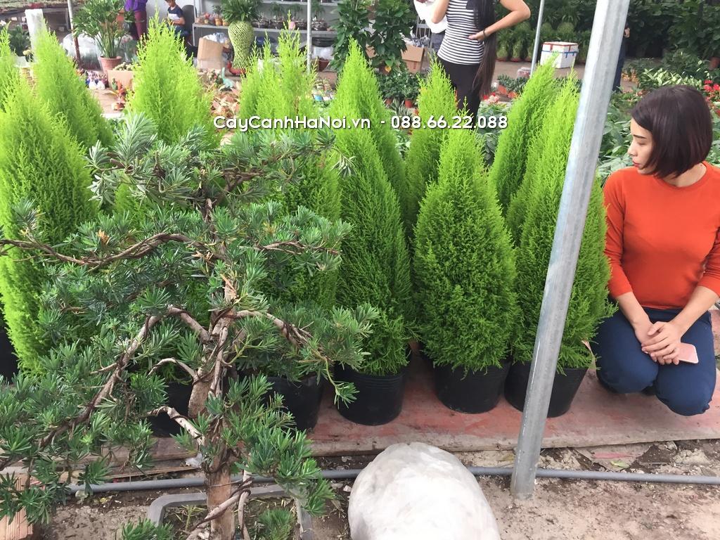 Tùng Thơm - Tuổi Tuất hợp cây gì
