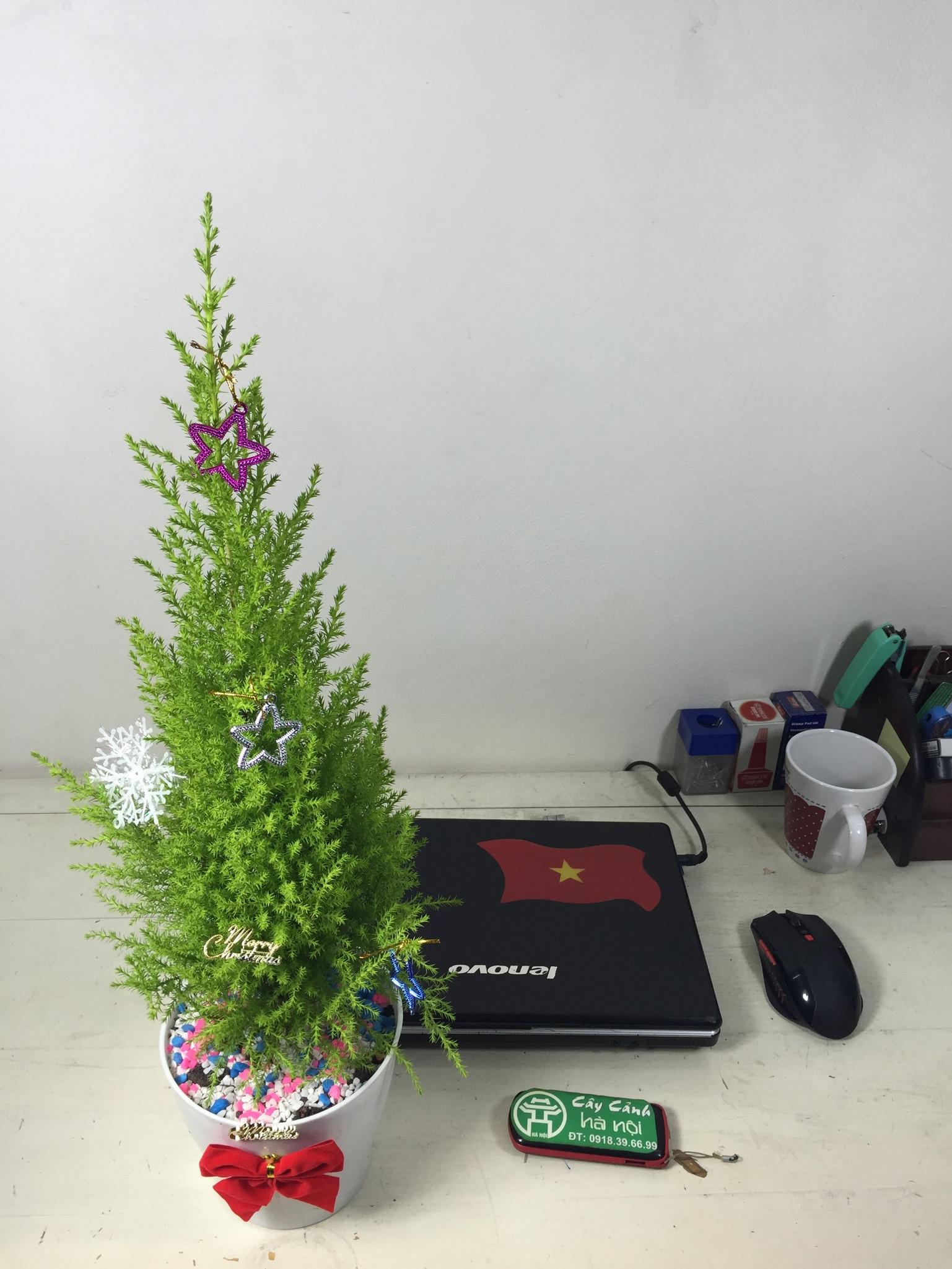 Tùng Thơm - Tuổi Sửu hợp cây gì?