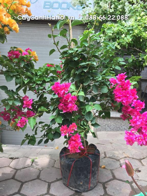 Cây Hoa Giấy - Tuổi Tỵ hợp cây gì