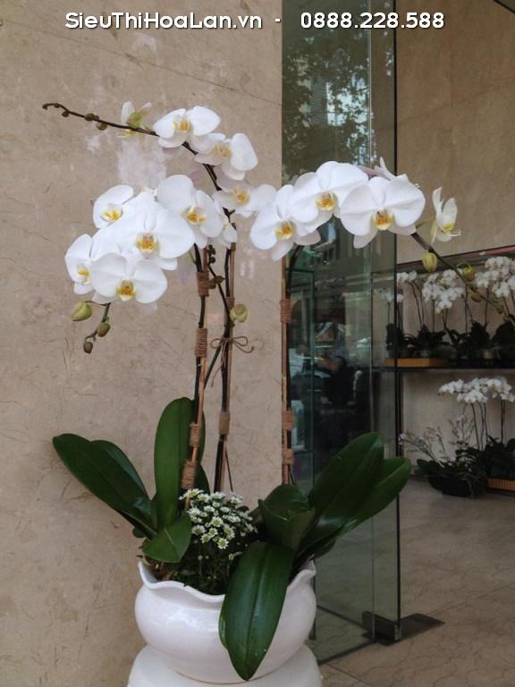 Cây hoa lan hồ đệp màu trắng