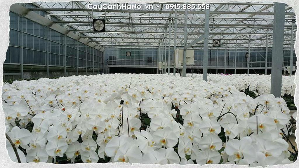 Vườn hoa lan hồ điệp màu trắng