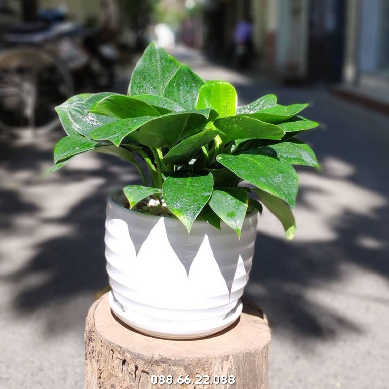 Trầu Bà Đế Vương - Cây Phong Thủy Tuổi Mùi