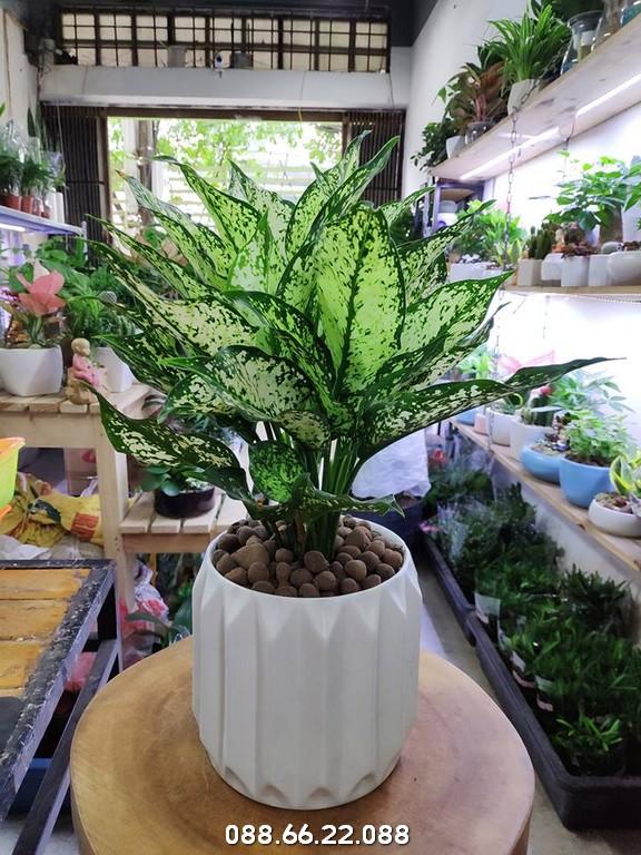 Cây Ngọc Ngân - Cây phong thủy tuổi Mùi