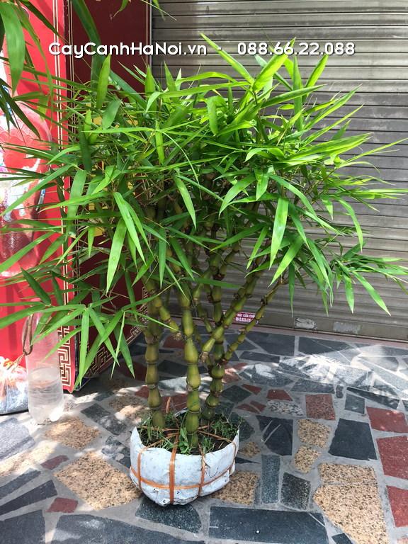 Cây Trúc Phật Bà - Cây phong thủy tuổi Thìn
