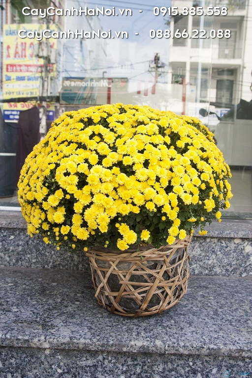 Cây Hoa Cúc