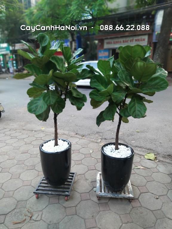 Bàng Singapore - Tuổi Thìn hợp cây gì