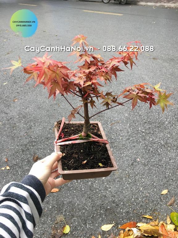 Phong lá đỏ - Mệnh Hỏa hợp cây gì