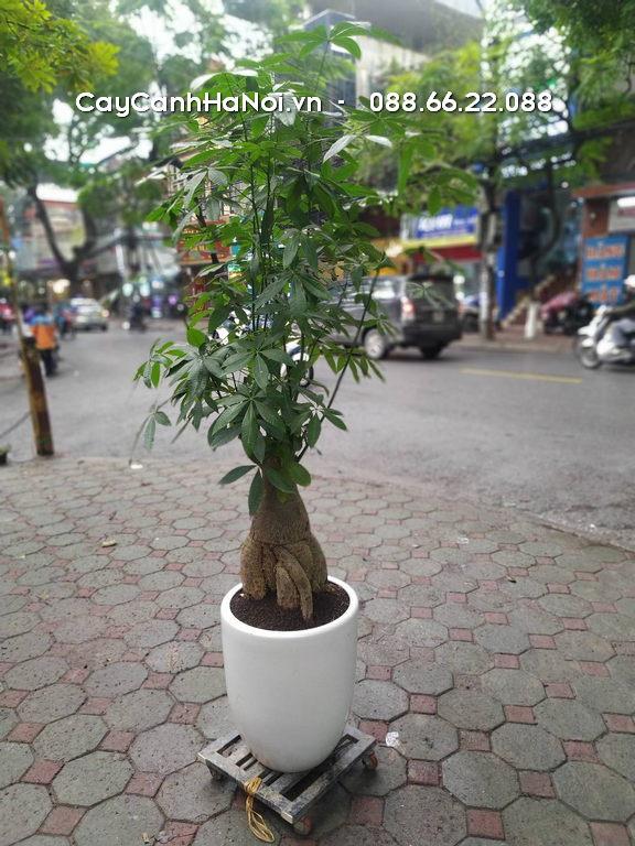 Kim Ngân - Mệnh Mộc hợp cây gì