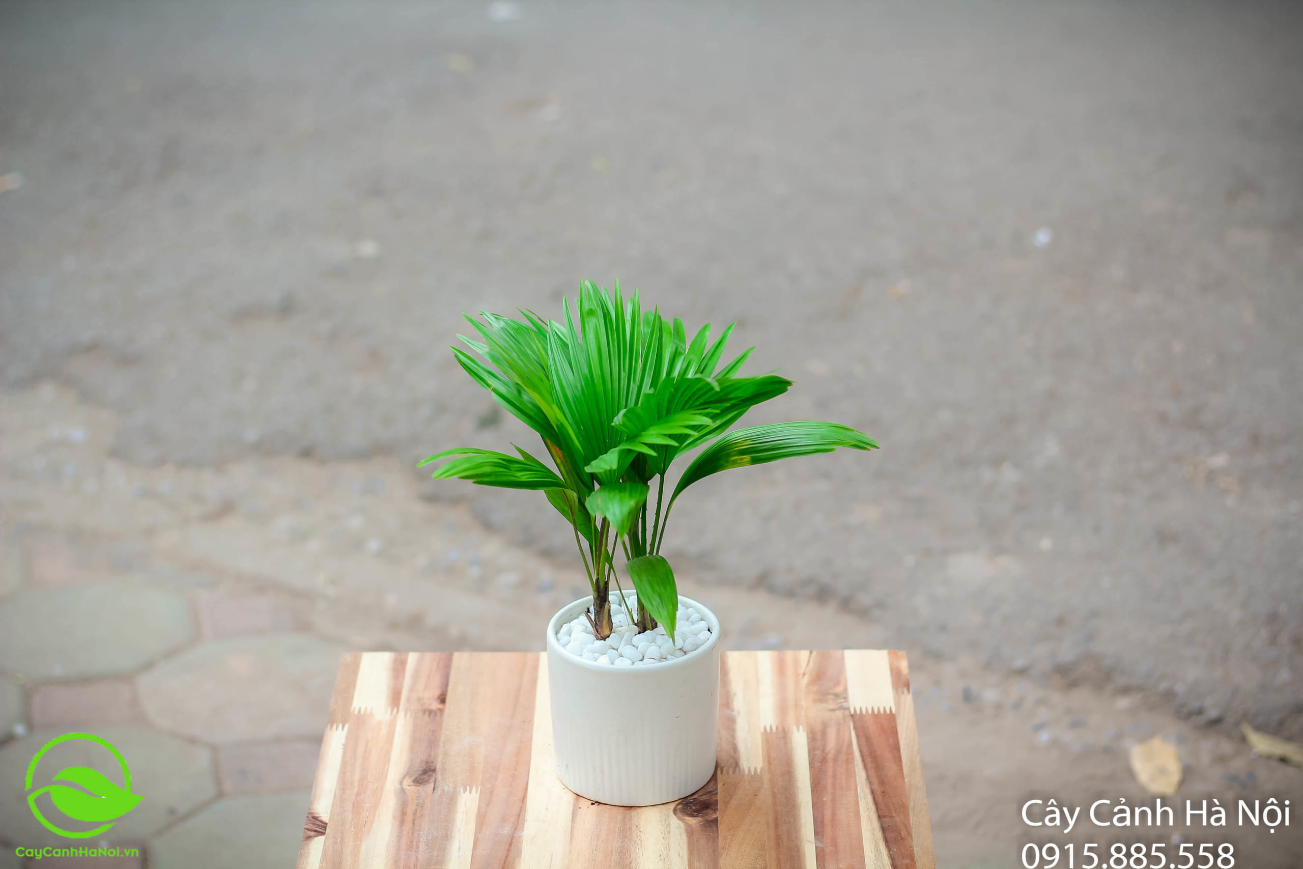 Cọ Nhật - Mệnh Thủy hợp cây gì