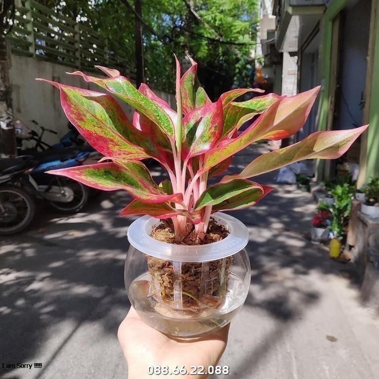 Cây Phú Quý - Tuổi Dậu hợp cây gì