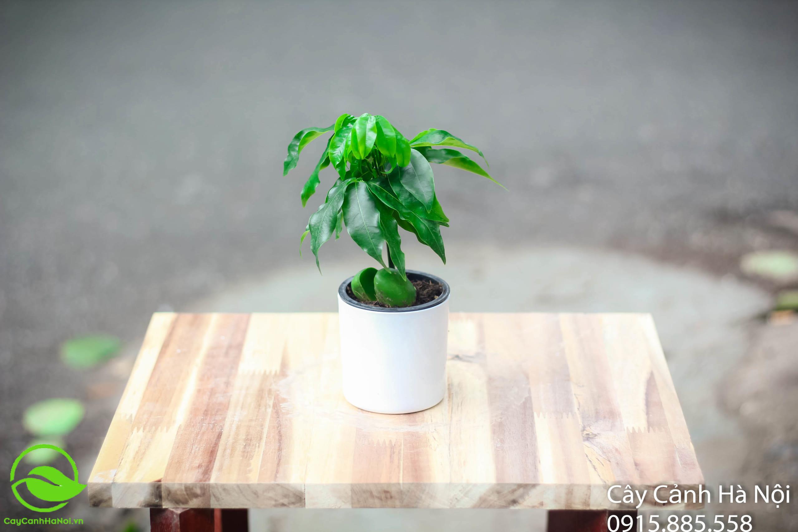 Cây hạt rẻ - Tuổi Mão hợp cây gì?