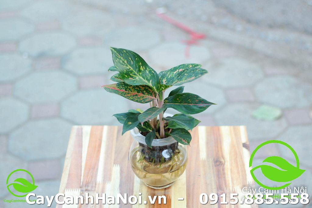 Cây Cung Điện Vàng - Tuổi Ngọ hợp cây gì