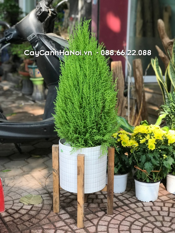 Cây Tùng Thơm - Tuổi Tuất hợp cây gì