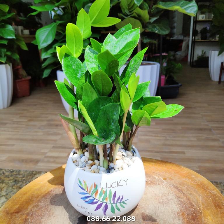 Tuổi Dậu trồng cây gì hợp phong thủy? - Cây kim tiền