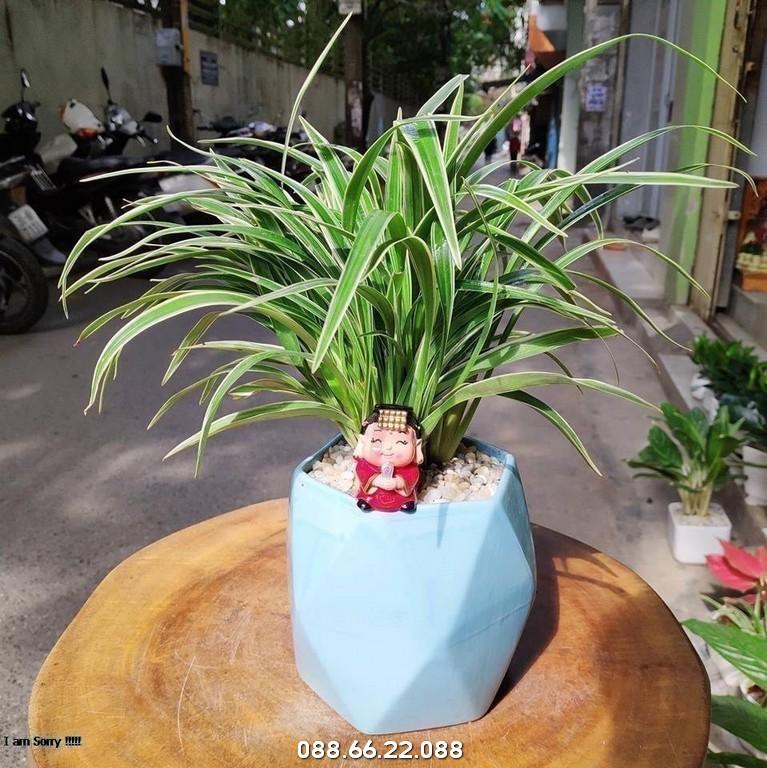Cây lan chi - cây phong thủy cho người tuổi Tỵ