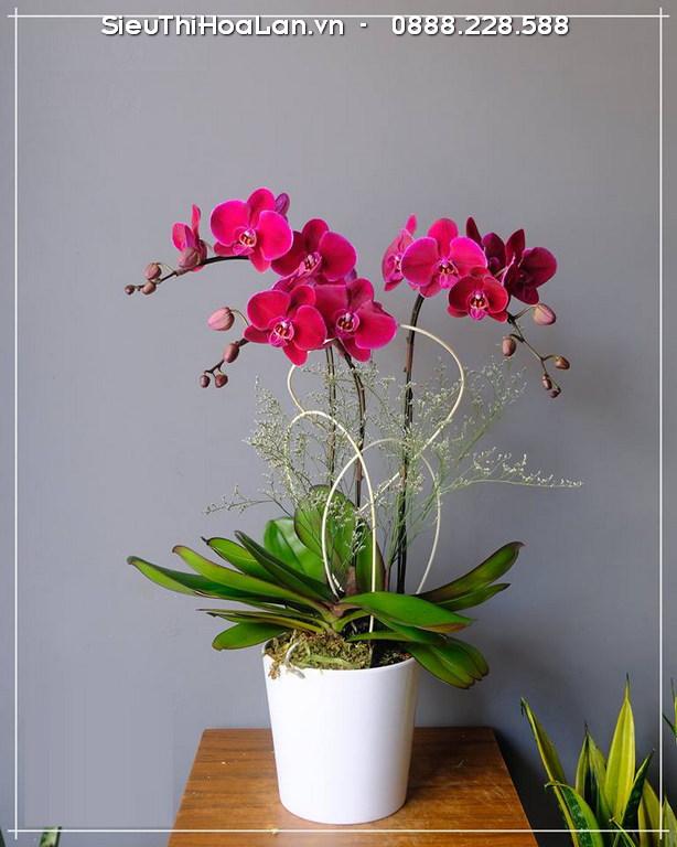 Cây hoa lan hồ điệp hồng - cây để bàn hợp tuổi Tỵ