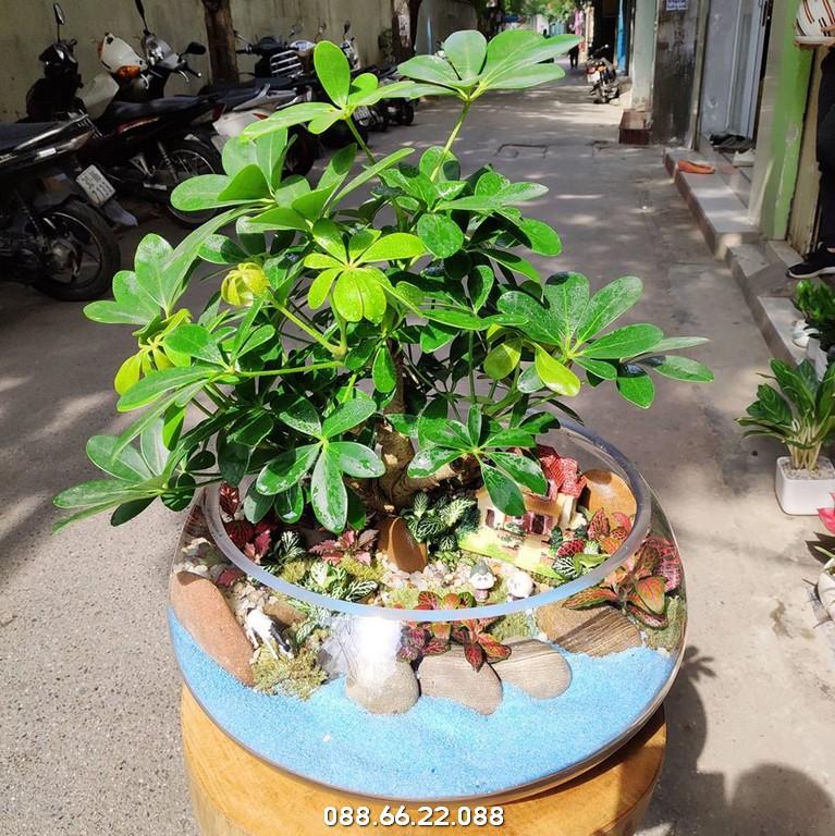 Cây ngũ gia bì - cây xanh phong thủy hợp tuổi Mão